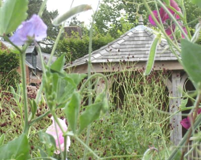 Sweet Peas in the cut flower garden Garden Design Co