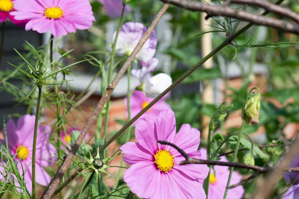 Cosmos, the perfect cut flower?