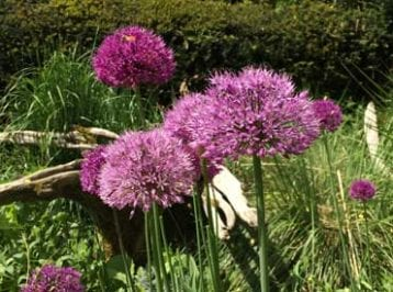 spring bulbs - allium purple sensation