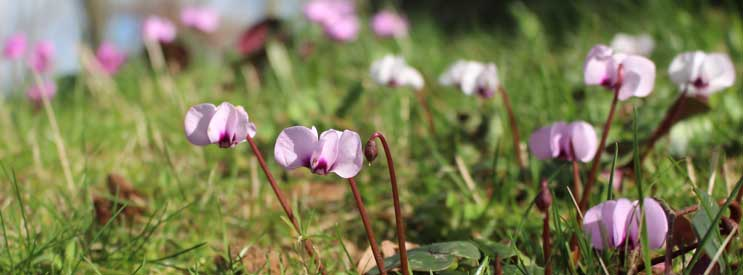 spring bulbs - cyclamen coum