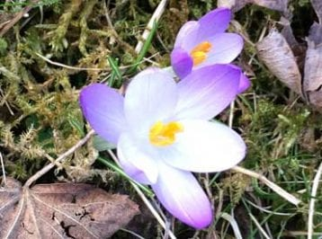 spring bulbs - naturalised crocus tommasinianus