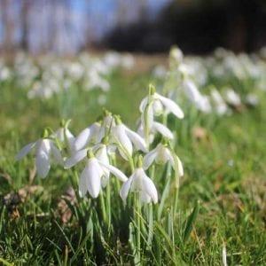 spring bulbs - snowdrops