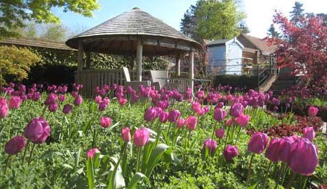 spring bulbs - tulip negrita