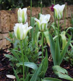 spring bulbs - tulip spring green