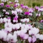 Cyclamen provide early colour