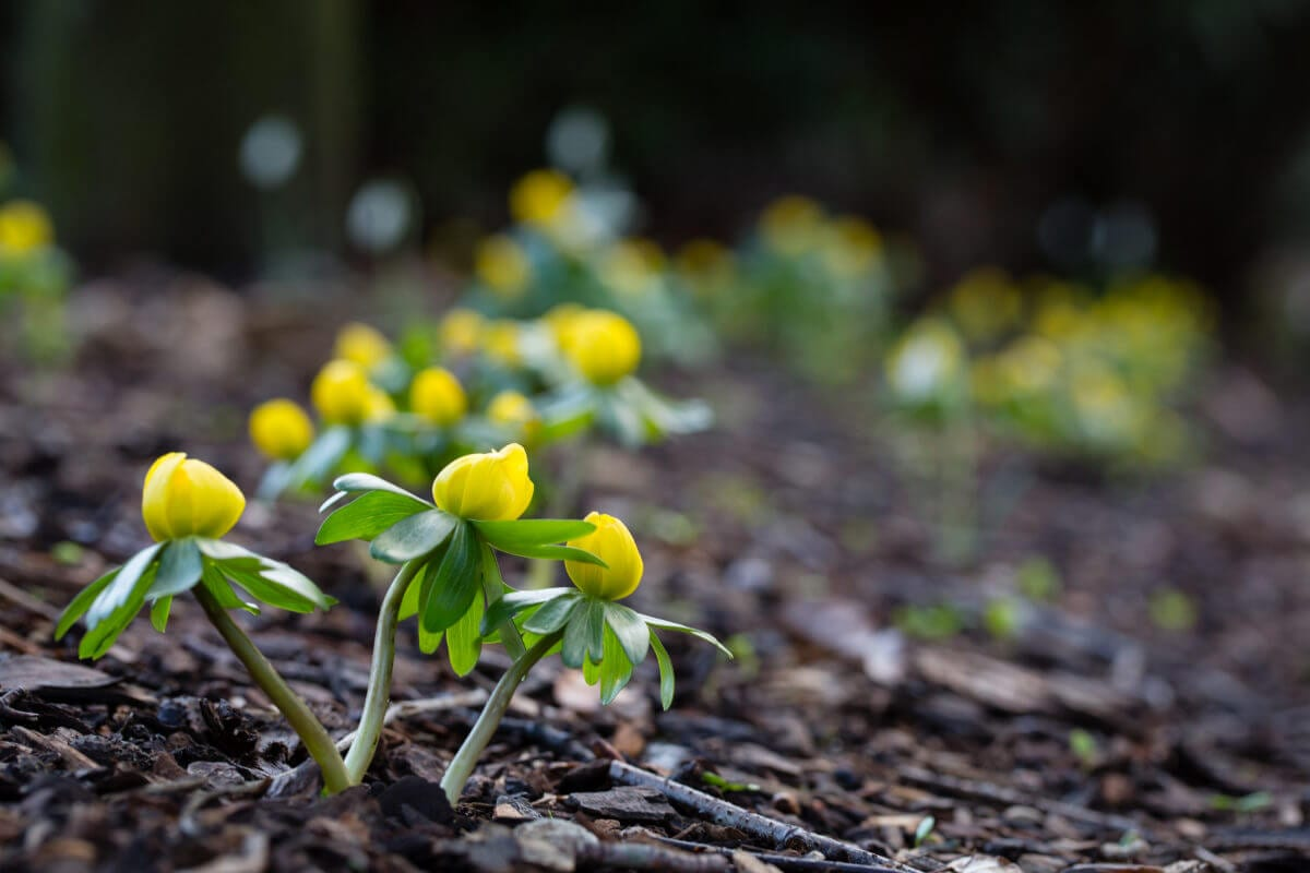 Aconites provide vibrant colour