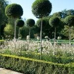 Pompoms of Ligustrum underplanted by Guara