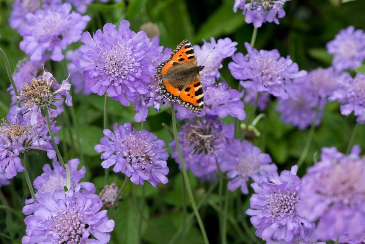 tortoiseshell butterfly on the wild scabious