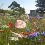 Cornflowers, Yarrow and Poppies