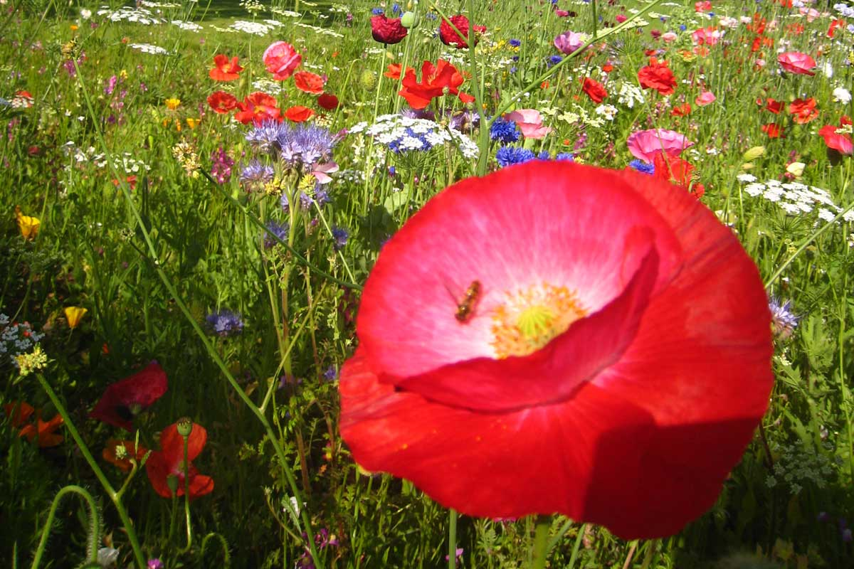 Stunning poppies in a variety of colours