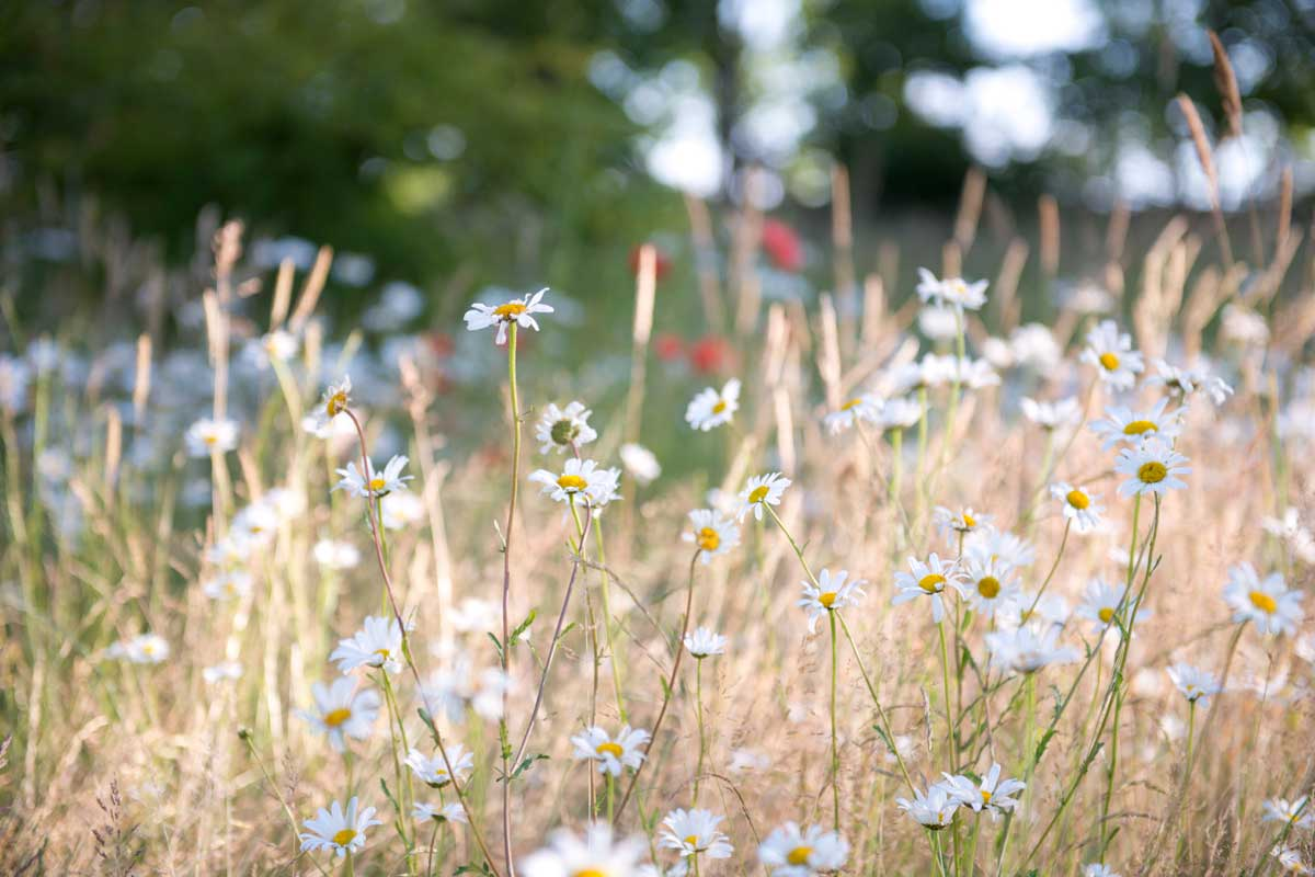 Oxe eye daisies. Less is more