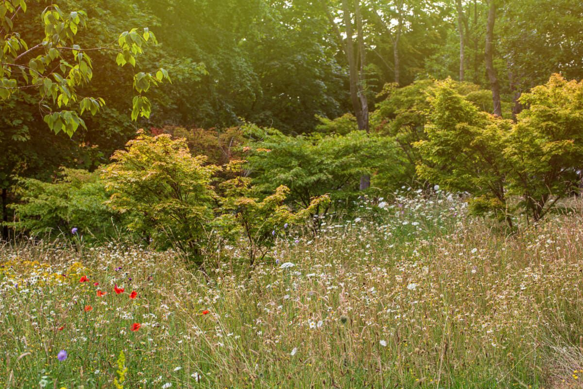 Yarrows and poppies anchoring Acers