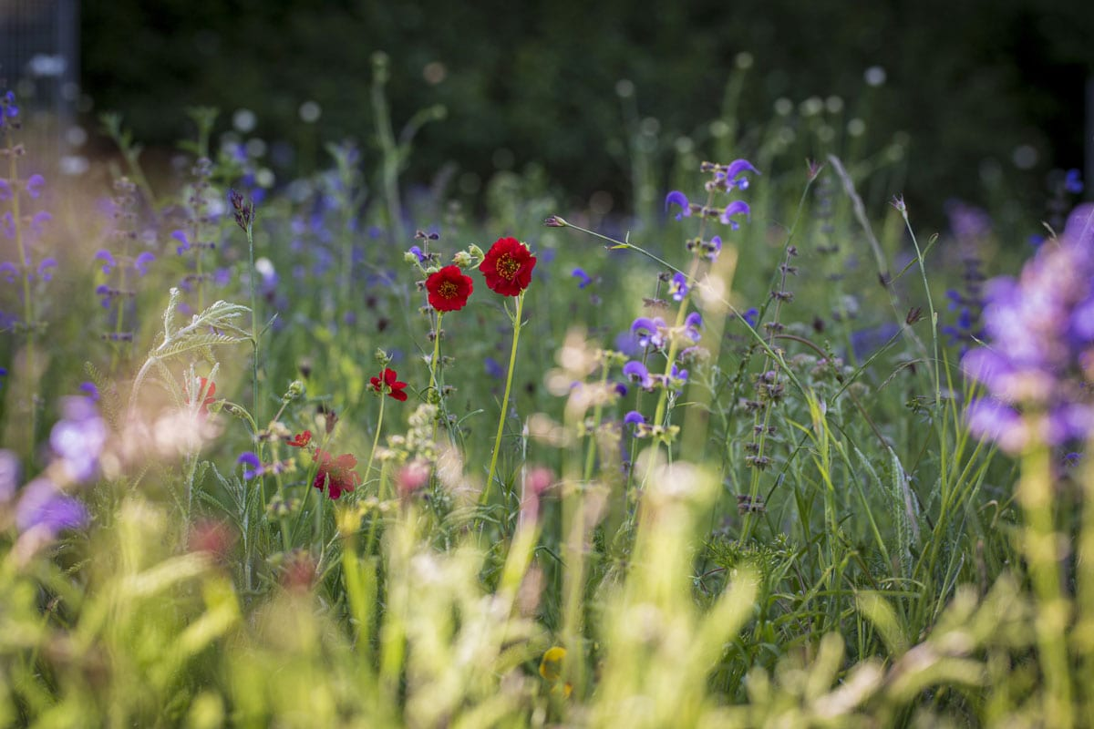 Geums and Vipers bugloss