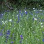 Oxe eye daisies and Vipers bugloss