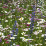 Vipers bugloss, yarrow and oxe daisies
