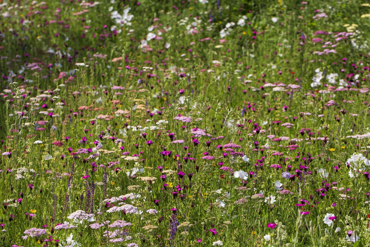 Dianthus, Yarrow and Achilleas