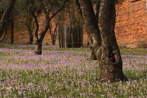 Spring bulbs - crocus